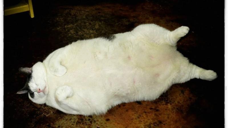 Dickste Katze Der Welt 14 Kilo Stubentiger Stirbt An Den Folgen