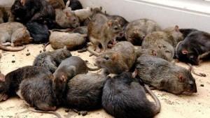 Rattenbekämpfung So Werden Sie Die Nager Los