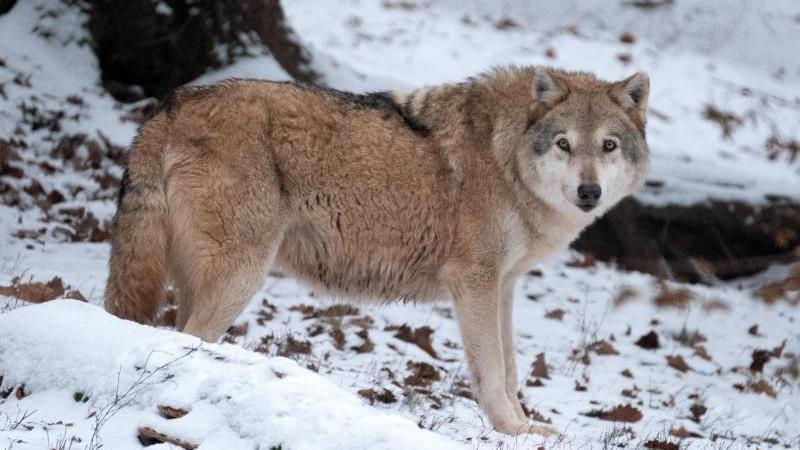 Kabinett plant Wolfsmanagement: Kritik vom Naturschutz