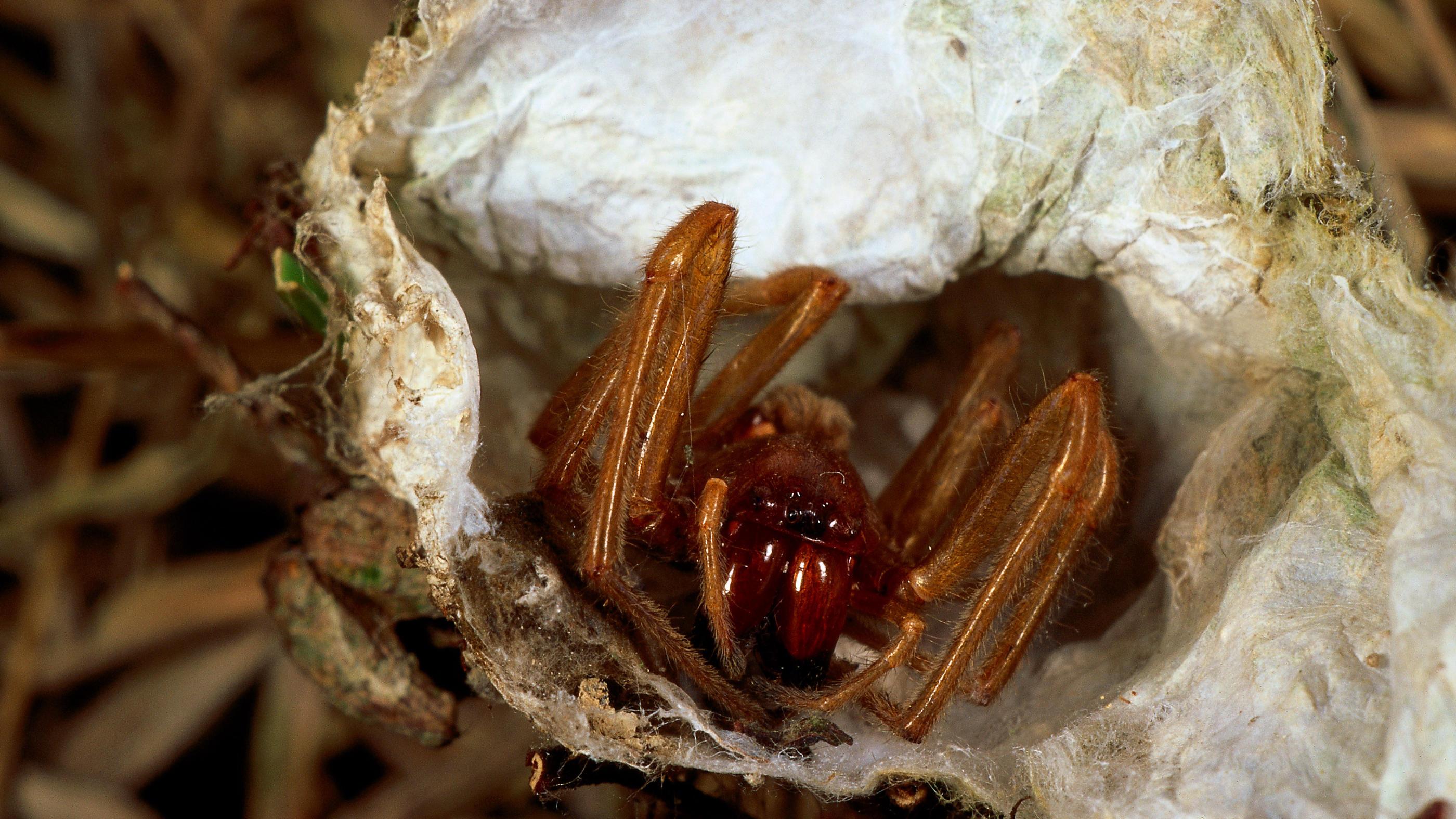 Giftspinnen In Deutschland