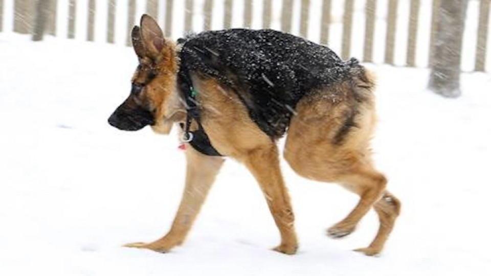 Quasimodo Hund