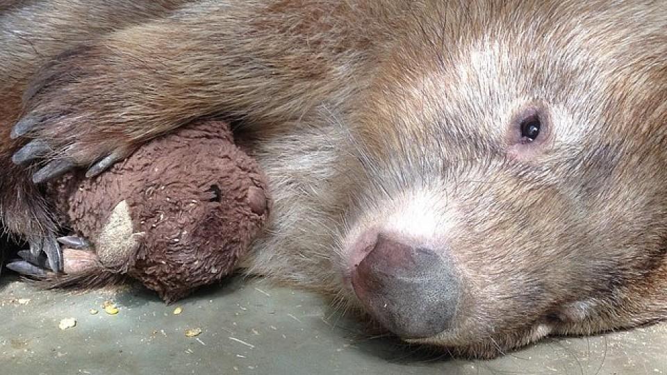 Depressiver Wombat findet neue Lebensfreude durch Kuscheltier