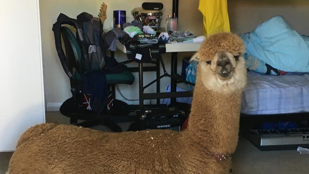 ein hund war einfach zu langweilig junge bekommt alpaka