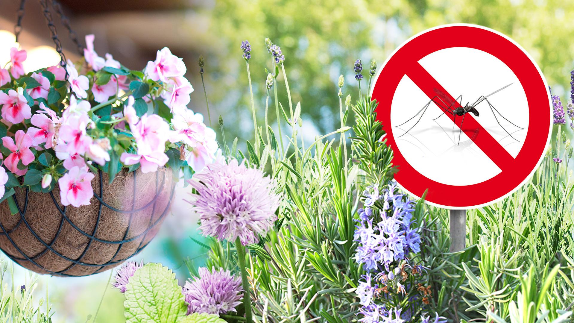 Hausmittel gegen Mücken: Diese 7 Pflanzen vertreiben Stechmücken