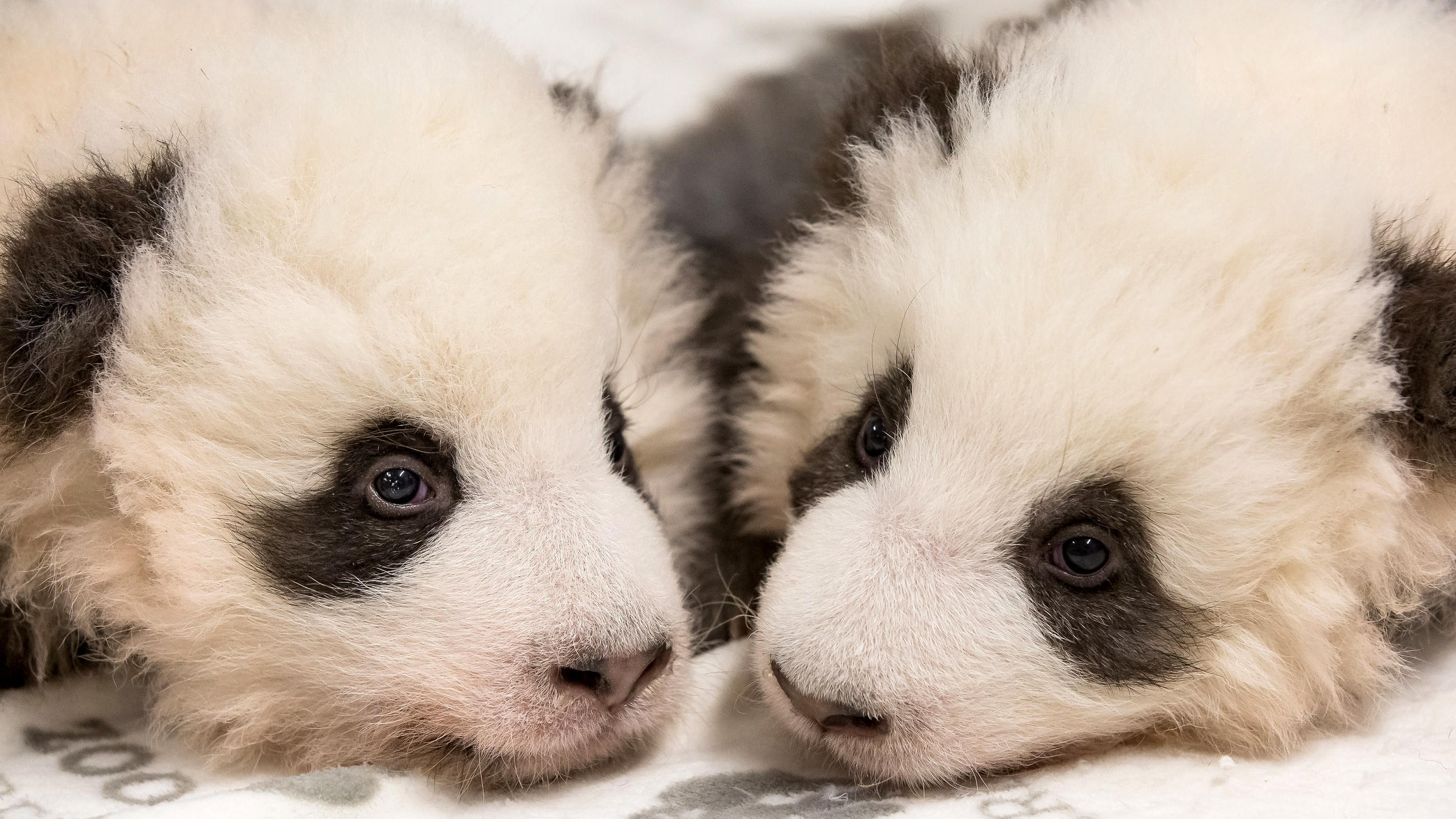 Zoo Berlin: Panda-Zwillinge haben endlich Namen - Ersehnter Traum Meng Xiang und Erfüllter Traum Meng Yuan